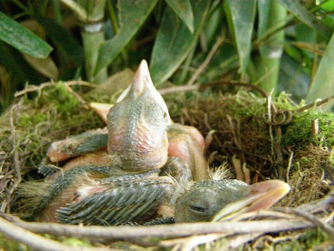 San Vito, Costa Rica Nature On Your Doorstep Baby Birds Nestlings Nest EyeEm Nature Lover Birds Turdis Greyii robin