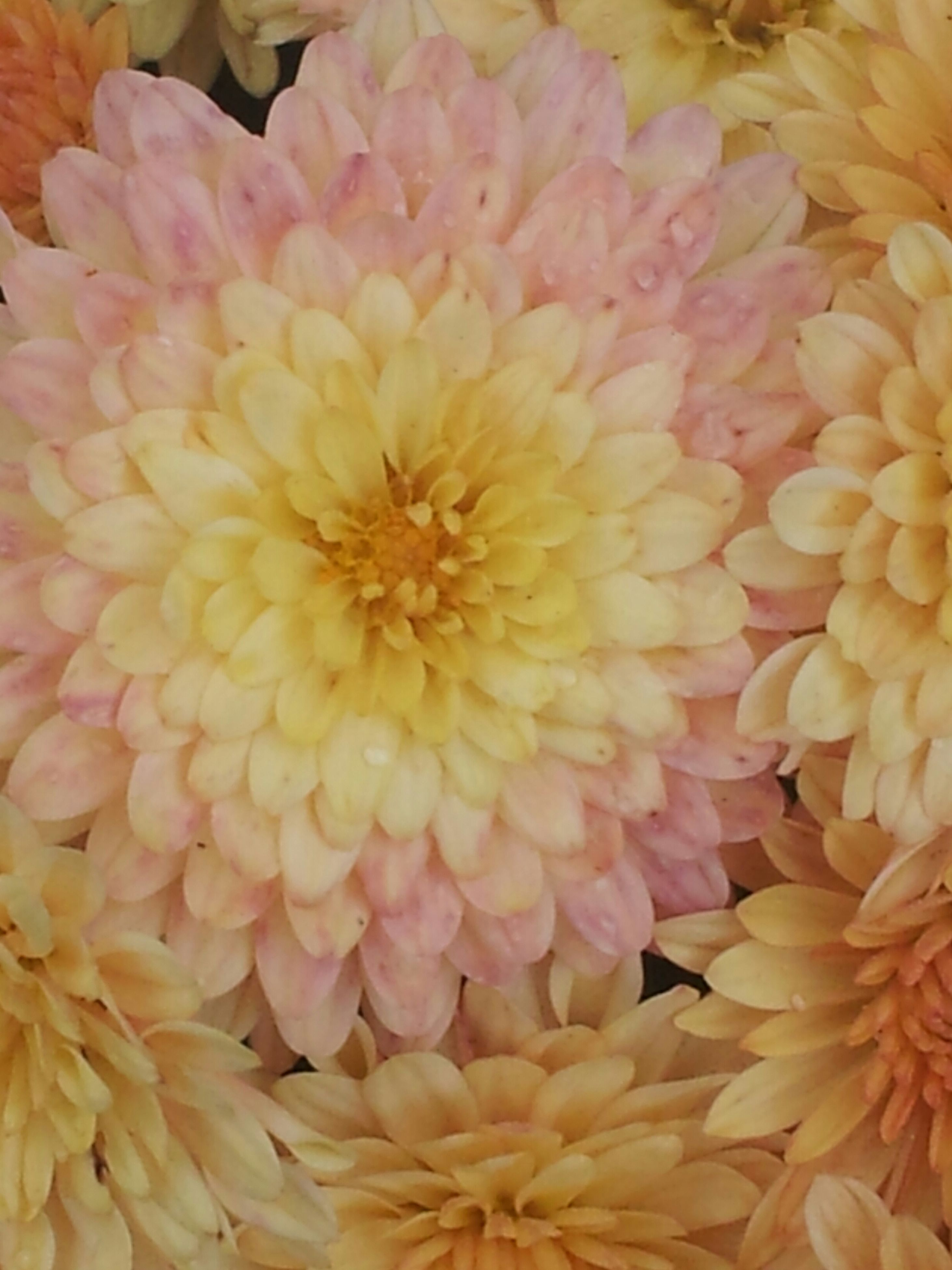 flower, petal, freshness, flower head, fragility, full frame, beauty in nature, close-up, backgrounds, blooming, yellow, nature, pollen, growth, indoors, no people, high angle view, dahlia, in bloom, natural pattern
