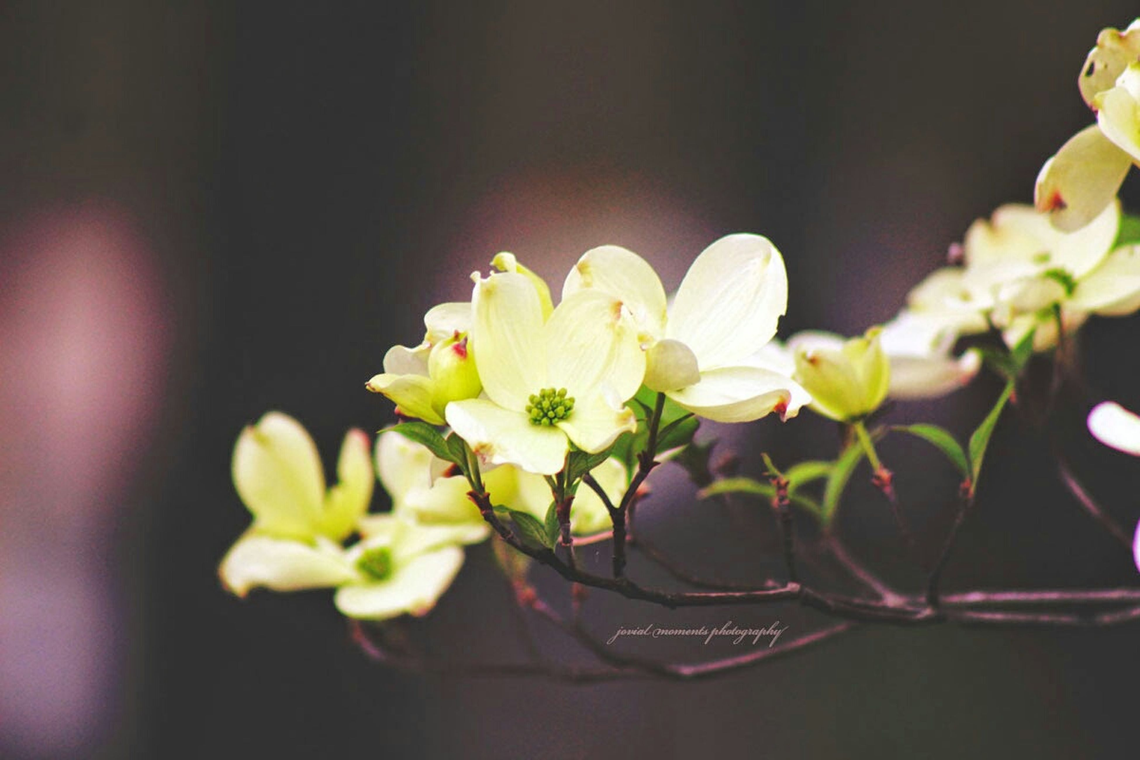 flower, petal, freshness, fragility, flower head, white color, beauty in nature, growth, close-up, focus on foreground, nature, blooming, plant, in bloom, blossom, stem, bud, selective focus, botany, no people