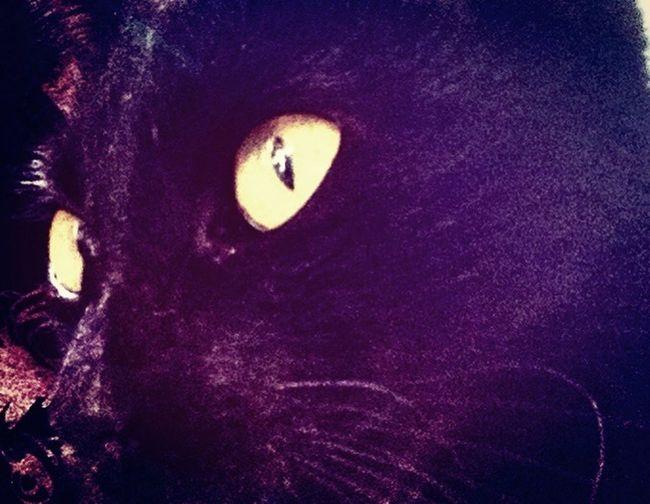 Black Cat Black Cats Are Beautiful