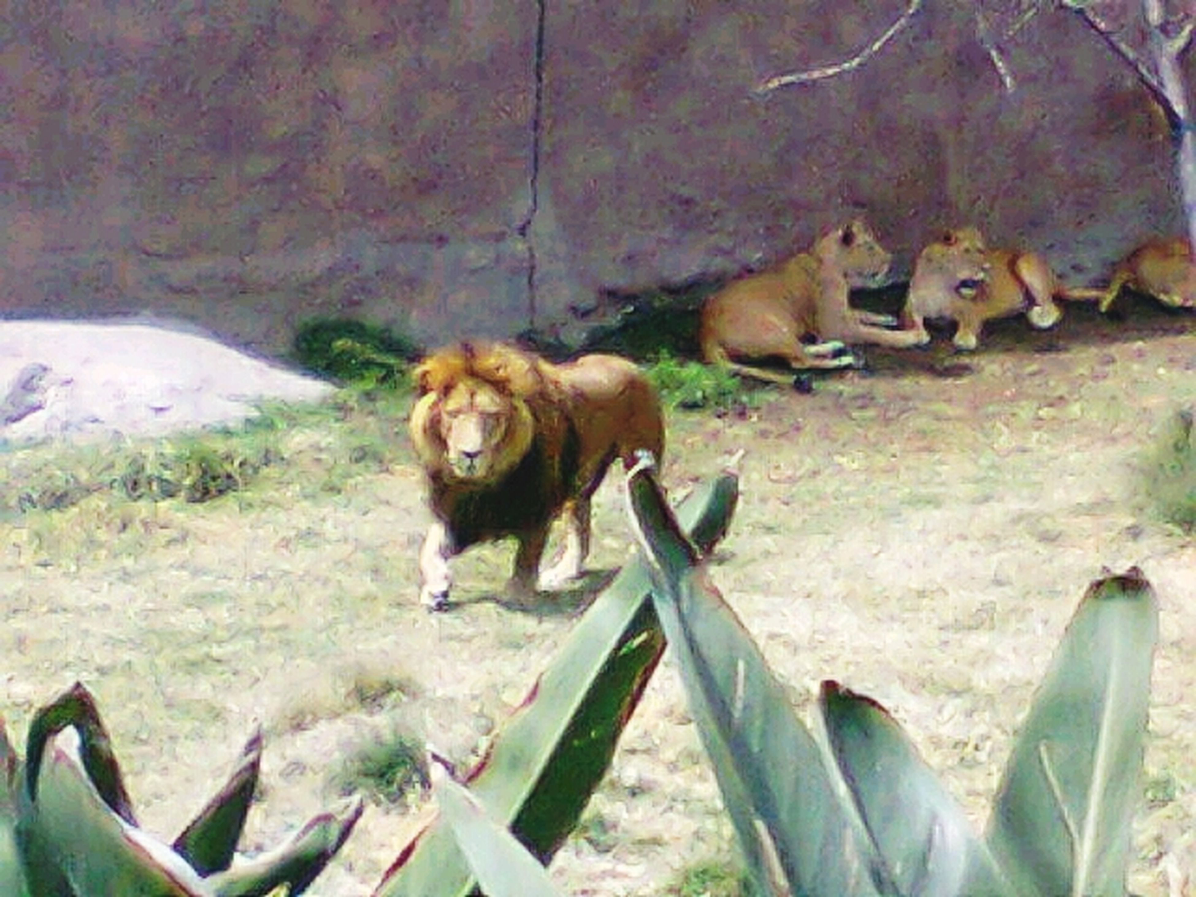 animal themes, mammal, one animal, domestic animals, animals in the wild, wildlife, high angle view, no people, grass, day, outdoors, fence, field, two animals, nature, plant, relaxation, animals in captivity, zoo, side view