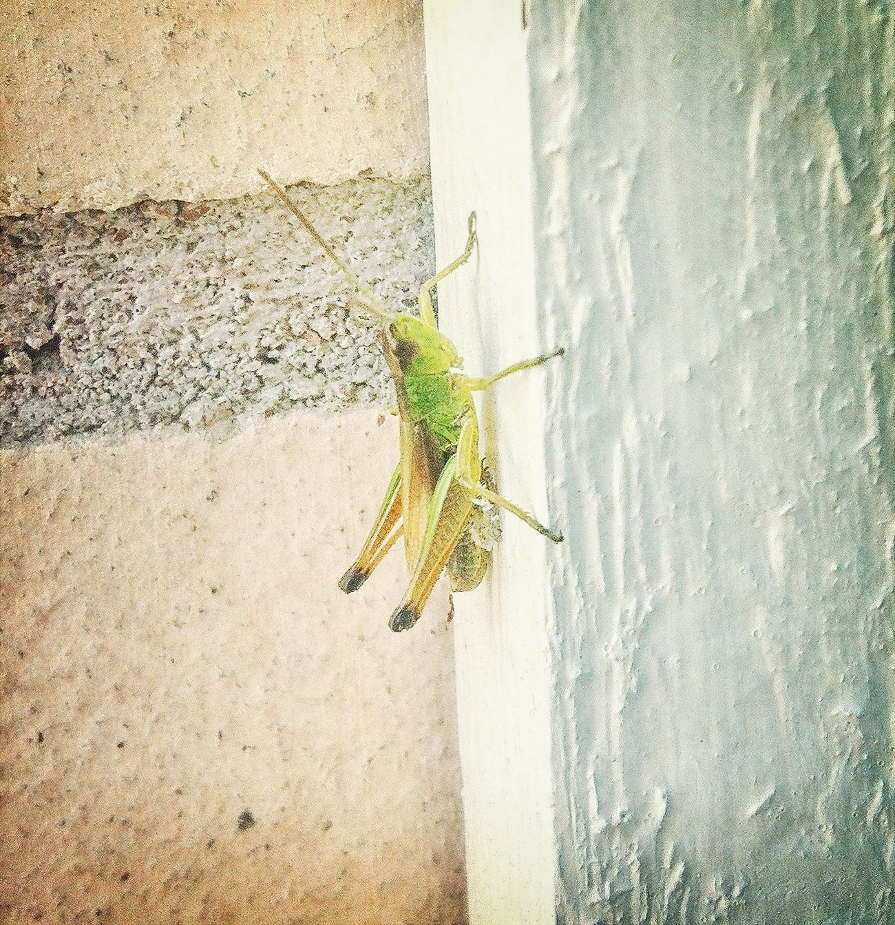 Grasshopper Cheese! Summer YOLO ✌