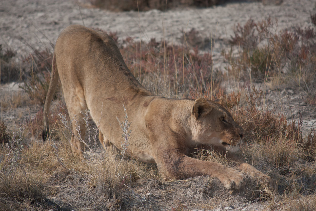 Beautiful stock photos of lion, Animals In The Wild, Arid Climate, Beauty In Nature, Close Up
