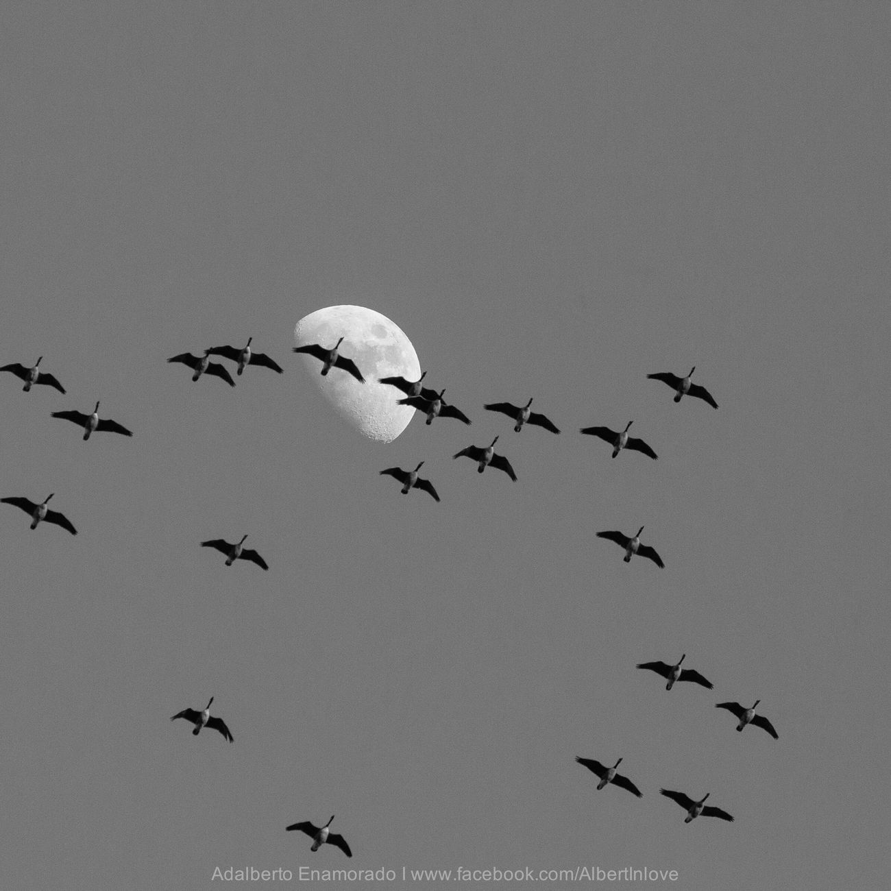 Ducks to the moons Angle Nature Moon