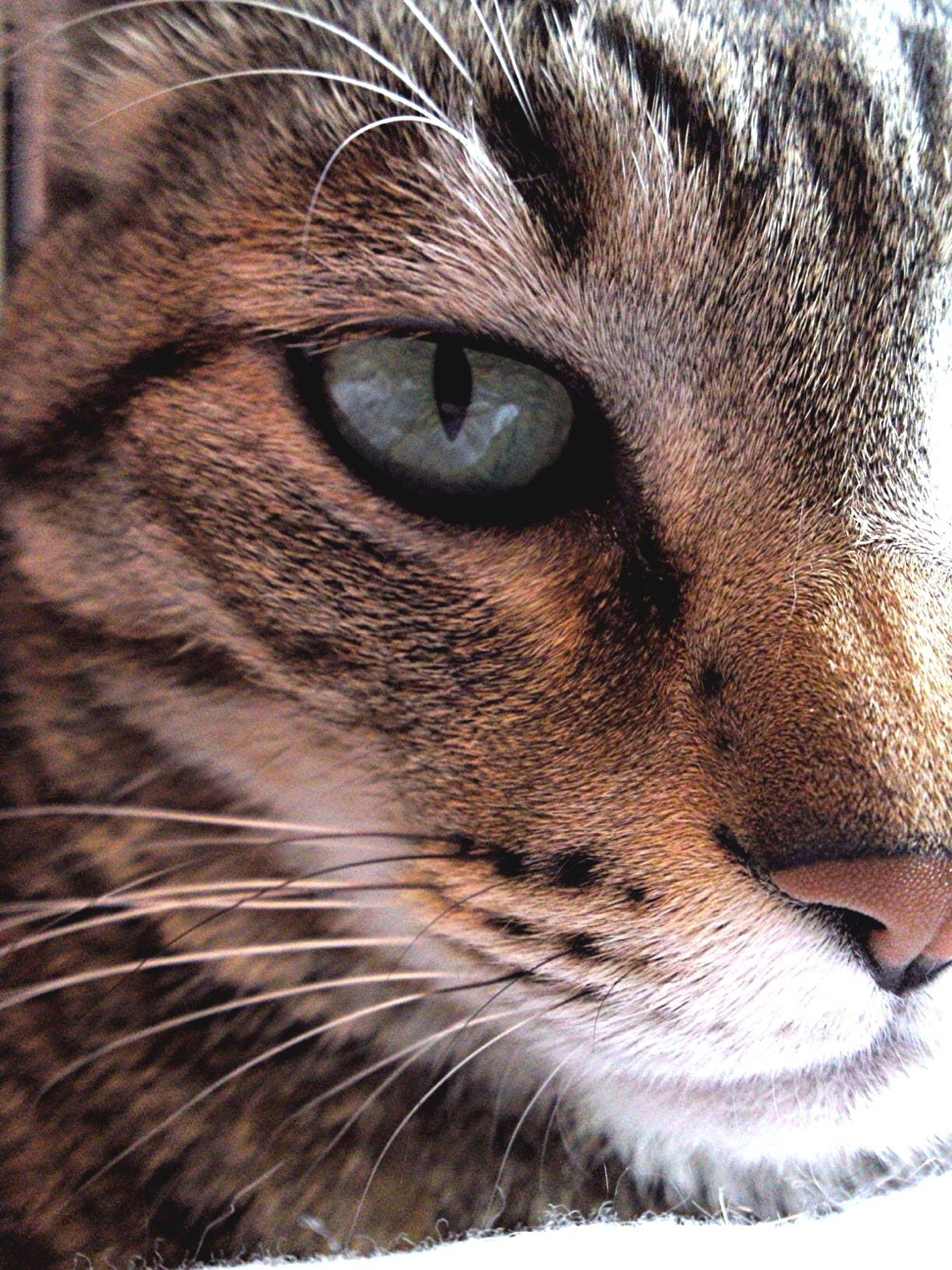 Cat Tiger Cats Eyes
