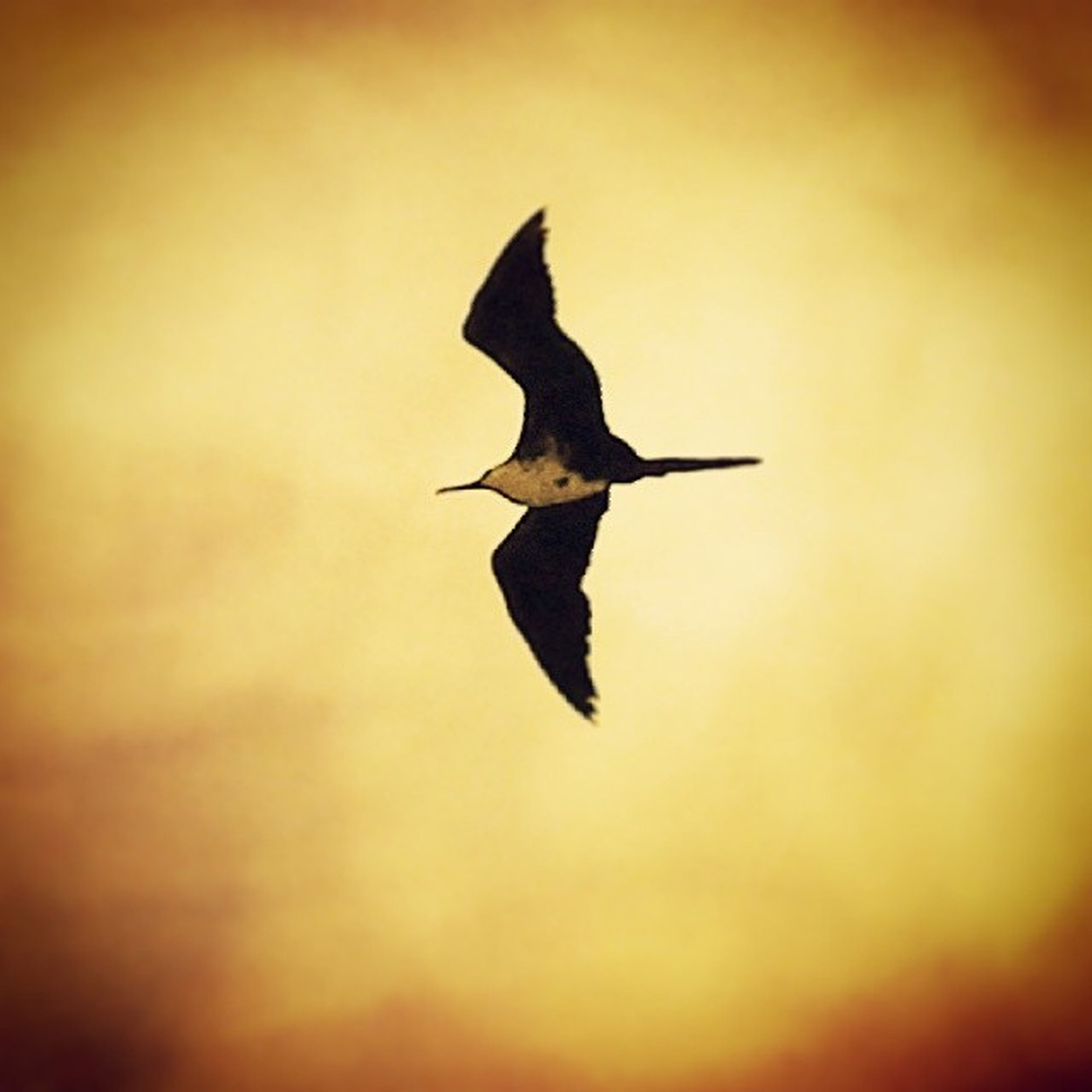 bird, animal themes, flying, animals in the wild, one animal, spread wings, wildlife, mid-air, silhouette, nature, selective focus, sunset, zoology, focus on foreground, low angle view, full length, motion, outdoors, no people, beauty in nature