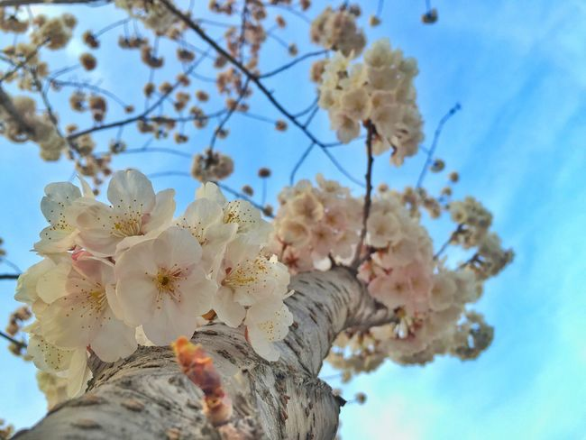 Spring Sakura Seoul Taking Photos Enjoying Life Photography EyeEm Best Shots Cellphone Photography Urban Flowers Eye4photography  Mobilephotography