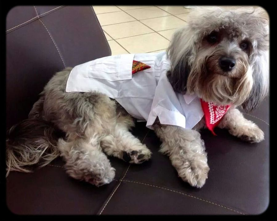 Doggy Mi Perro Yorkypoo Mascota