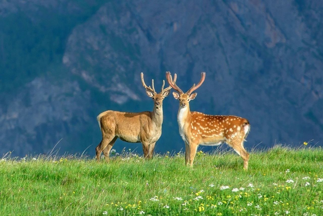 grass, field, animal wildlife, animals in the wild, deer, animal themes, nature, stag, outdoors, no people, day, mammal, full length