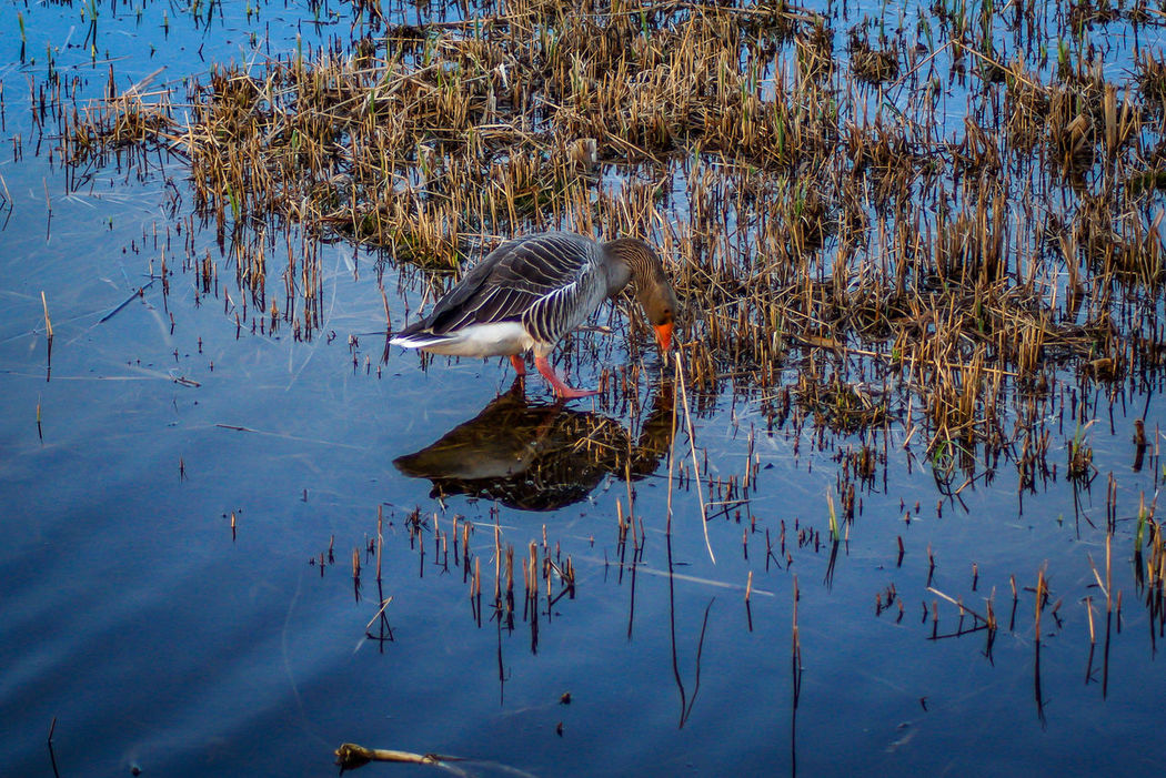 Bird Water Outdoors Lake No People Animals In The Wild Sky Day Animal Themes Nature Malephotographerofthemonth Tranquility Sony A77 Tranquil Scene Beauty In Nature Muntjac Nature