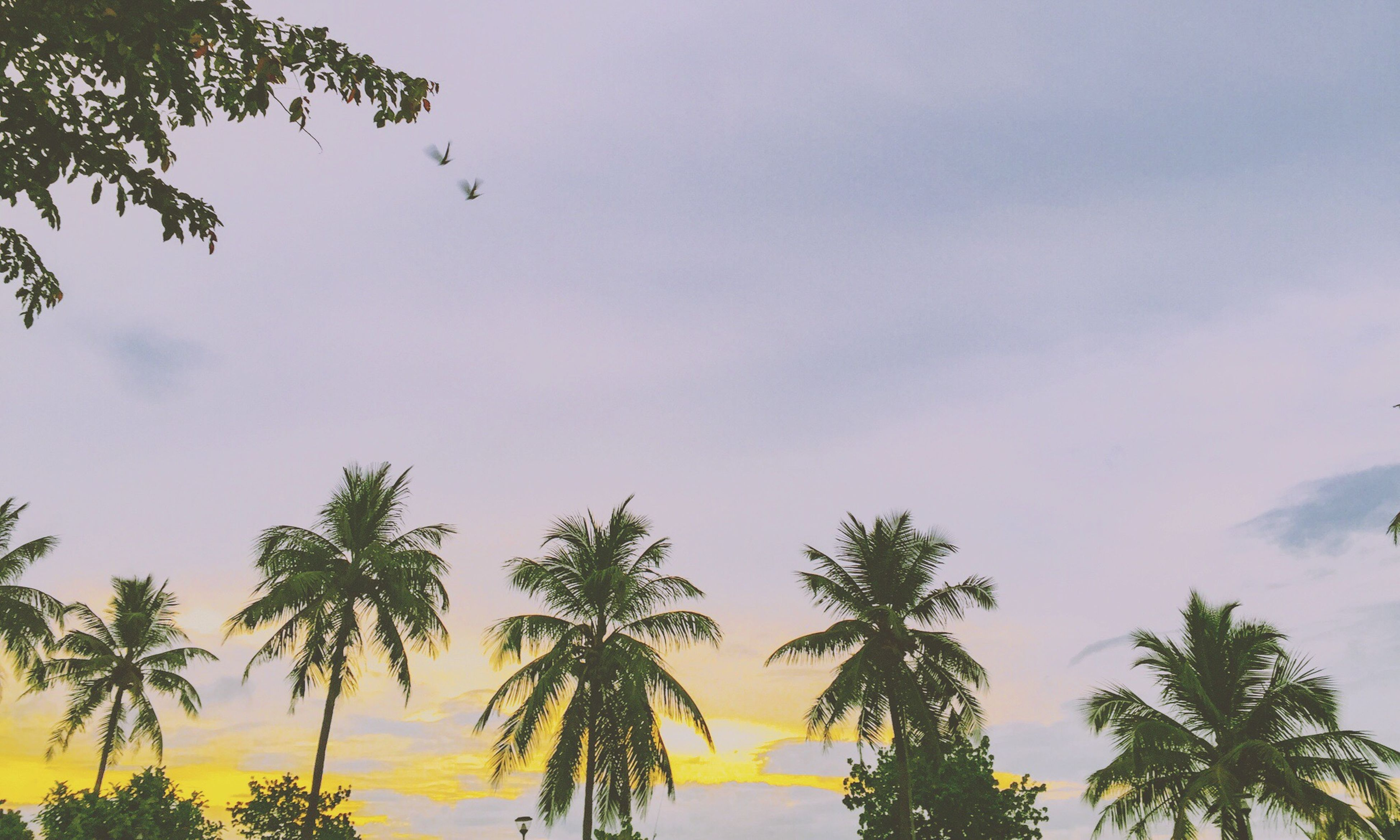 tree, palm tree, sky, low angle view, tranquility, beauty in nature, scenics, sunset, nature, tranquil scene, silhouette, flying, cloud - sky, growth, bird, cloud, idyllic, outdoors, no people, mid-air