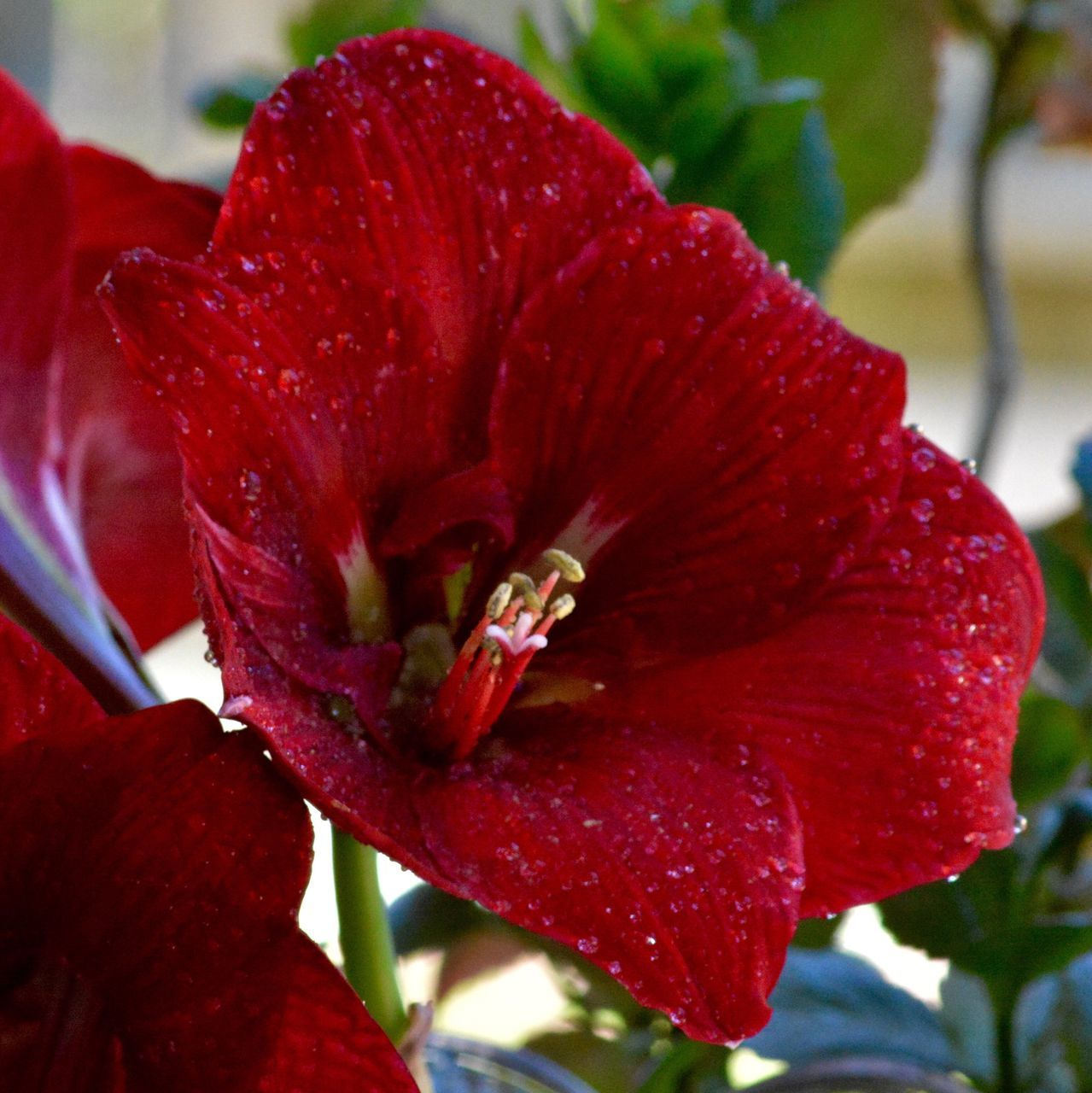 red, nature, beauty in nature, growth, petal, fragility, flower, close-up, freshness, no people, drop, outdoors, water, day, flower head, plant, hibiscus