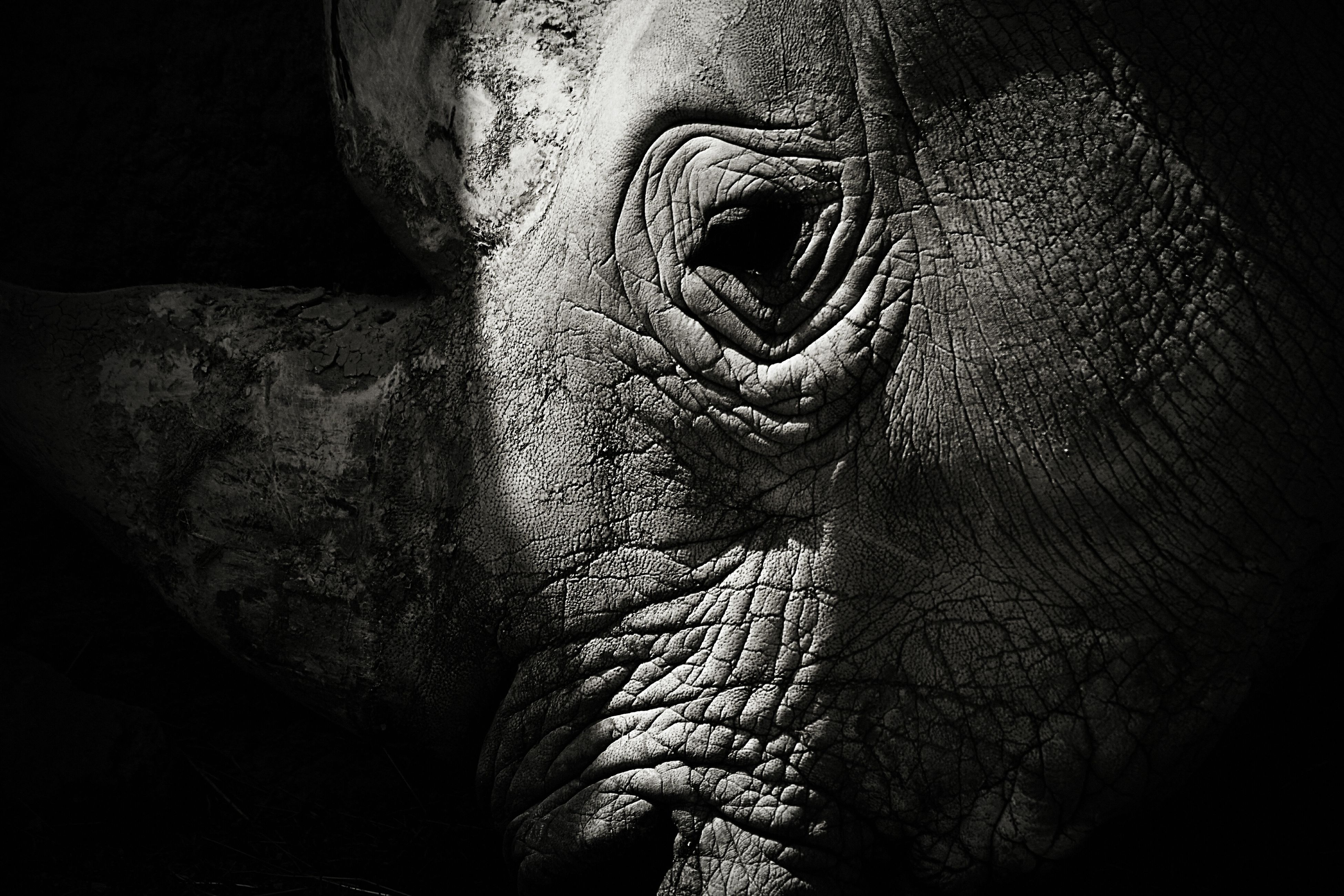 elephant, one animal, animals in the wild, animal wildlife, animal themes, mammal, animal trunk, no people, rhinoceros, outdoors, day, close-up, safari animals, african elephant, nature, tusk