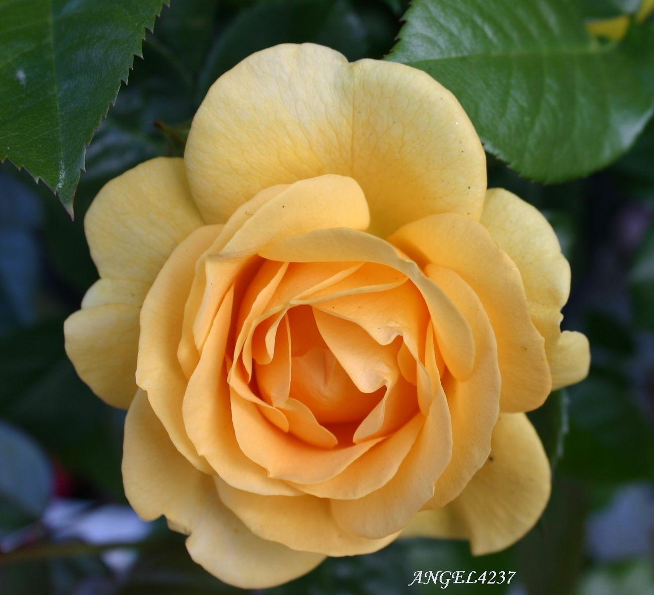 My_rose_collection Eye Em Best Shots Floralperfection BeautyAndMadness