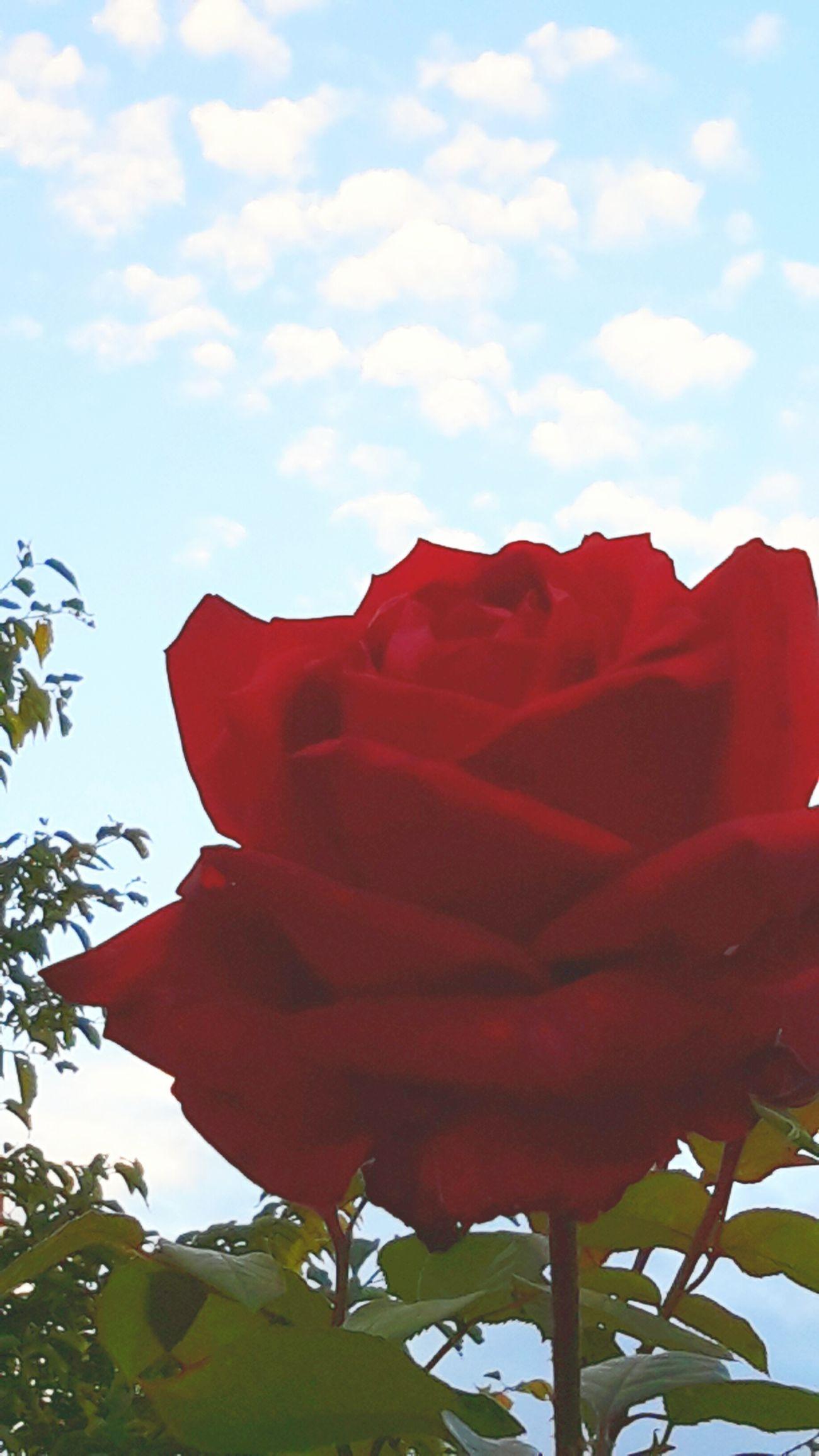 Flowers In My Garden Redandblue Rose🌹 Flowers,Plants & Garden Beautiful Nature Garden Petals Flower Photography Petals By Nature Contrast Flower Head Nature Beauty Beauty In Nature
