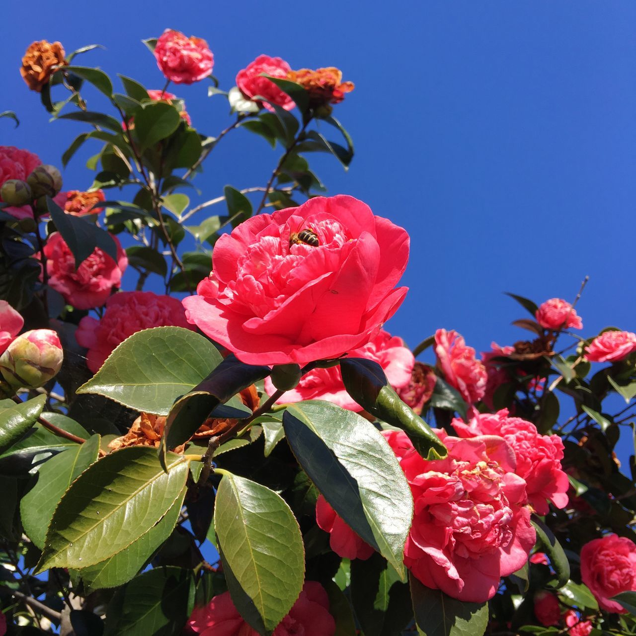 Flower Fragility Petal Growth Nature Beauty In Nature Pink Color Freshness Plant Close-up No People Flower Head Leaf Blooming Day Outdoors Sky Blue Sky Camellia Lookingup SPAIN Galicia Leaves Bee