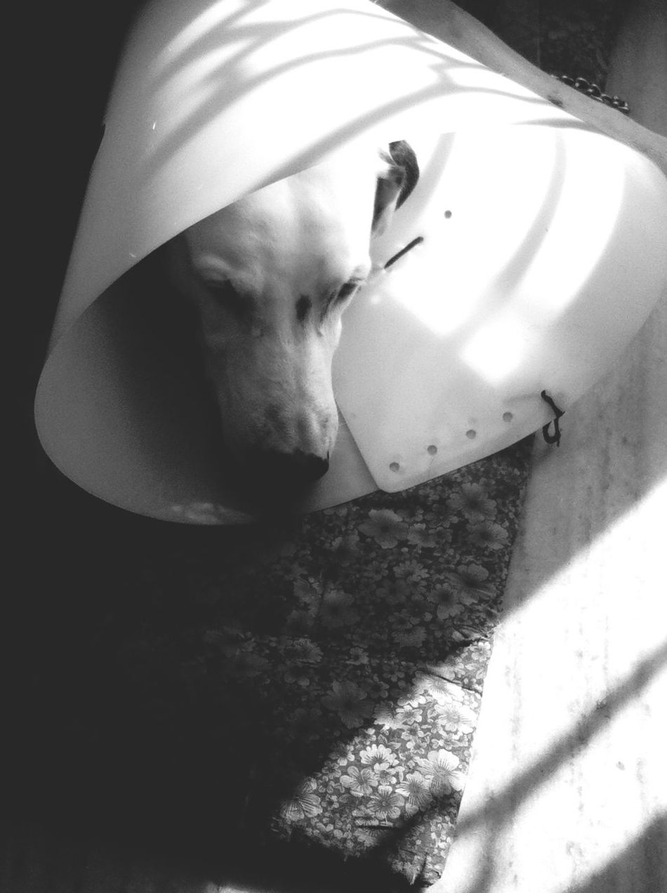 My favourite subject, recuperating. TheMinimals (less Edit Juxt Photography) Post Op Doggie Diaries