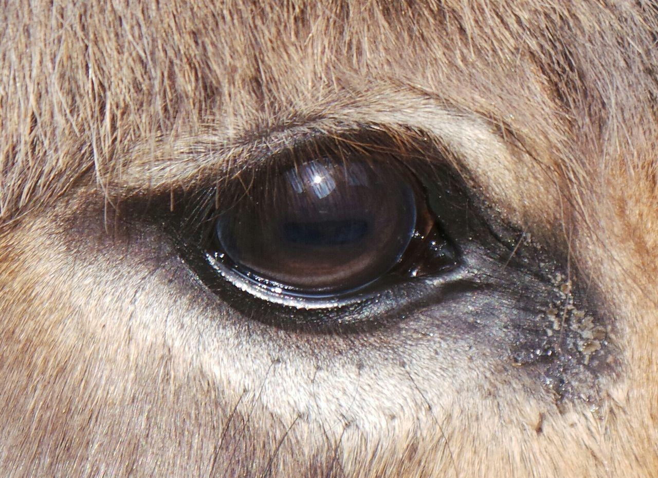 Beautiful stock photos of donkey, Animal Body Part, Animal Eye, Animal Hair, Animal Head