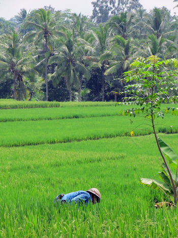 working in the field Agriculture Bali Beauty In Nature Field Fieldworker Green Color INDONESIA Landscape Nature Rice Field Rural Scene Scenics Tranquil Scene Ubud Working EyeEmNewHere