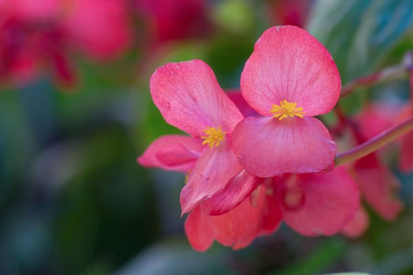 Pink Blooms Flower Petal Beauty In Nature Fragility Nature Growth Pink Color Flower Head Freshness Focus On Foreground Blooming Day No People Outdoors Close-up Plant
