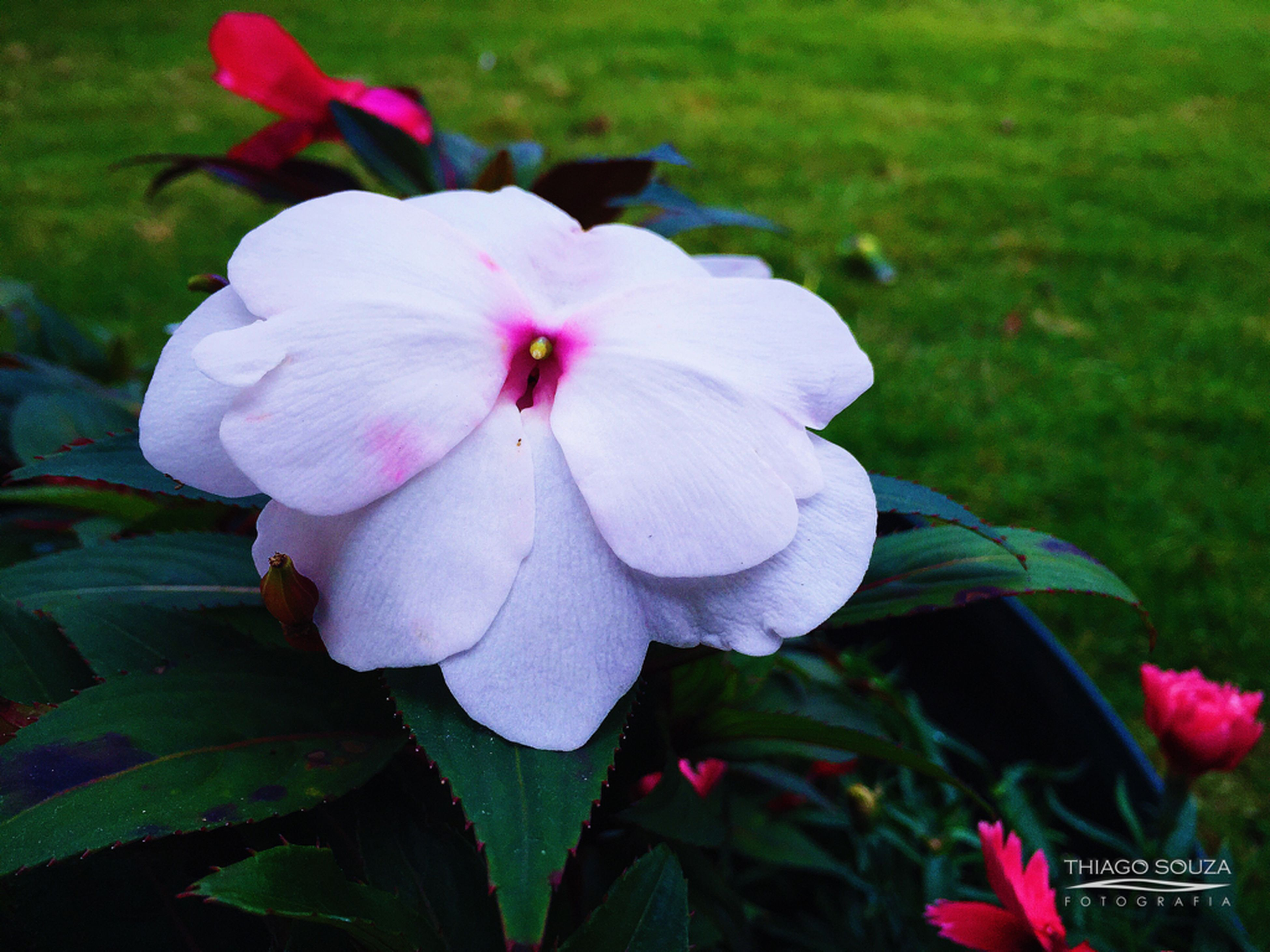 flower, petal, freshness, fragility, flower head, growth, beauty in nature, blooming, pink color, close-up, focus on foreground, nature, plant, leaf, high angle view, park - man made space, day, in bloom, outdoors, field