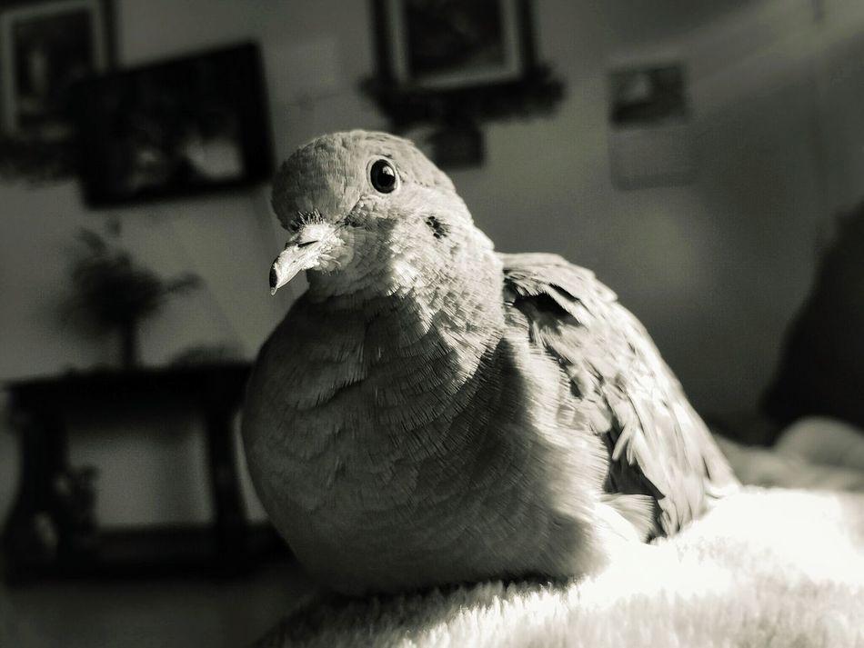 Beautiful stock photos of friedenstaube,  Animal Themes,  Close-Up,  Day,  Domestic Animals