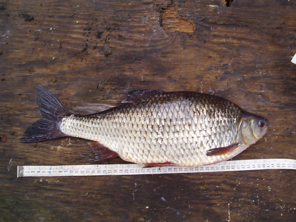 Pattern Pieces Patterns In Nature Roach Fish Fishing Gigant BIG Red Eye Middle Of Sweden Catch And Release Specimen One Of A Kind  Drennan Competiton Feeder Feederfishing Coarse Fishing