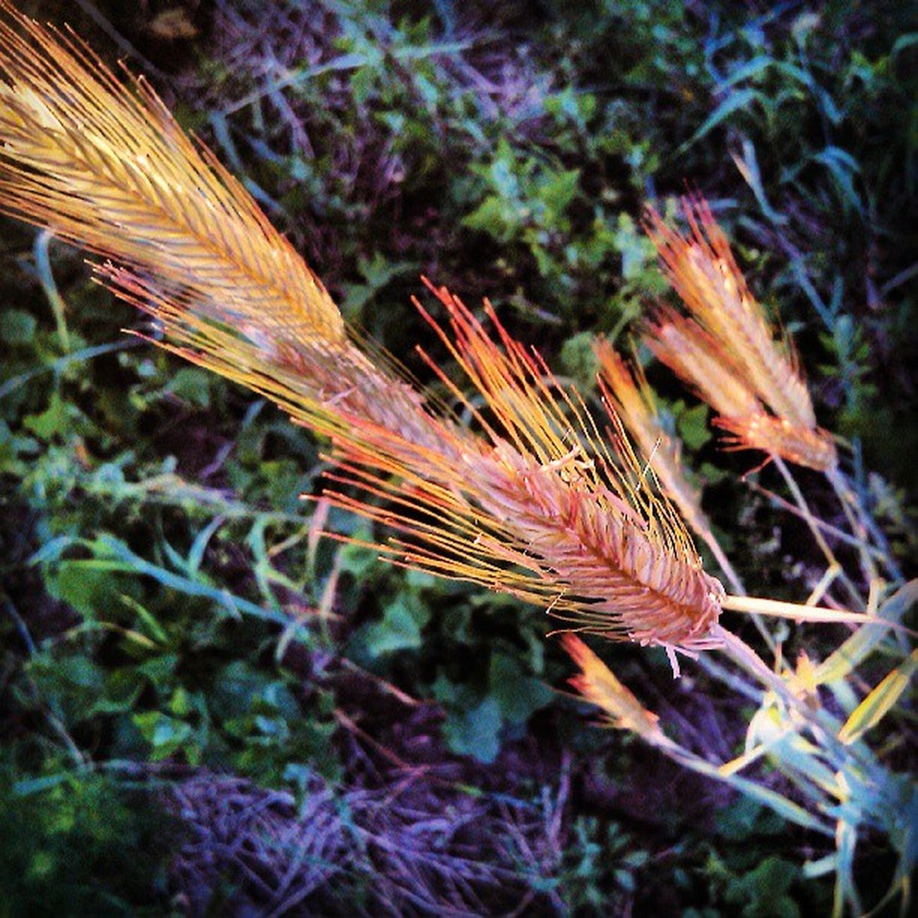 рожь Колос поле лепота природа russia цвет