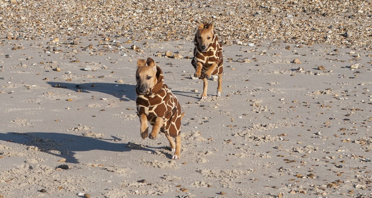 Stretching their legs Animal Themes Beach Domestic Animals Puppies Of Eyeem Dogs Whippet Puppies Puppy Pet Sand Dog Running Dog Togetherness