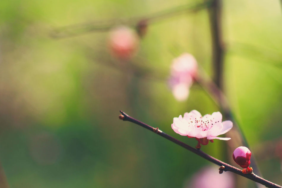 Peach Blossom Flowers Close-up Beauty In Nature Nature Catch The Moment Striving For Excellence Garden Photography Macro