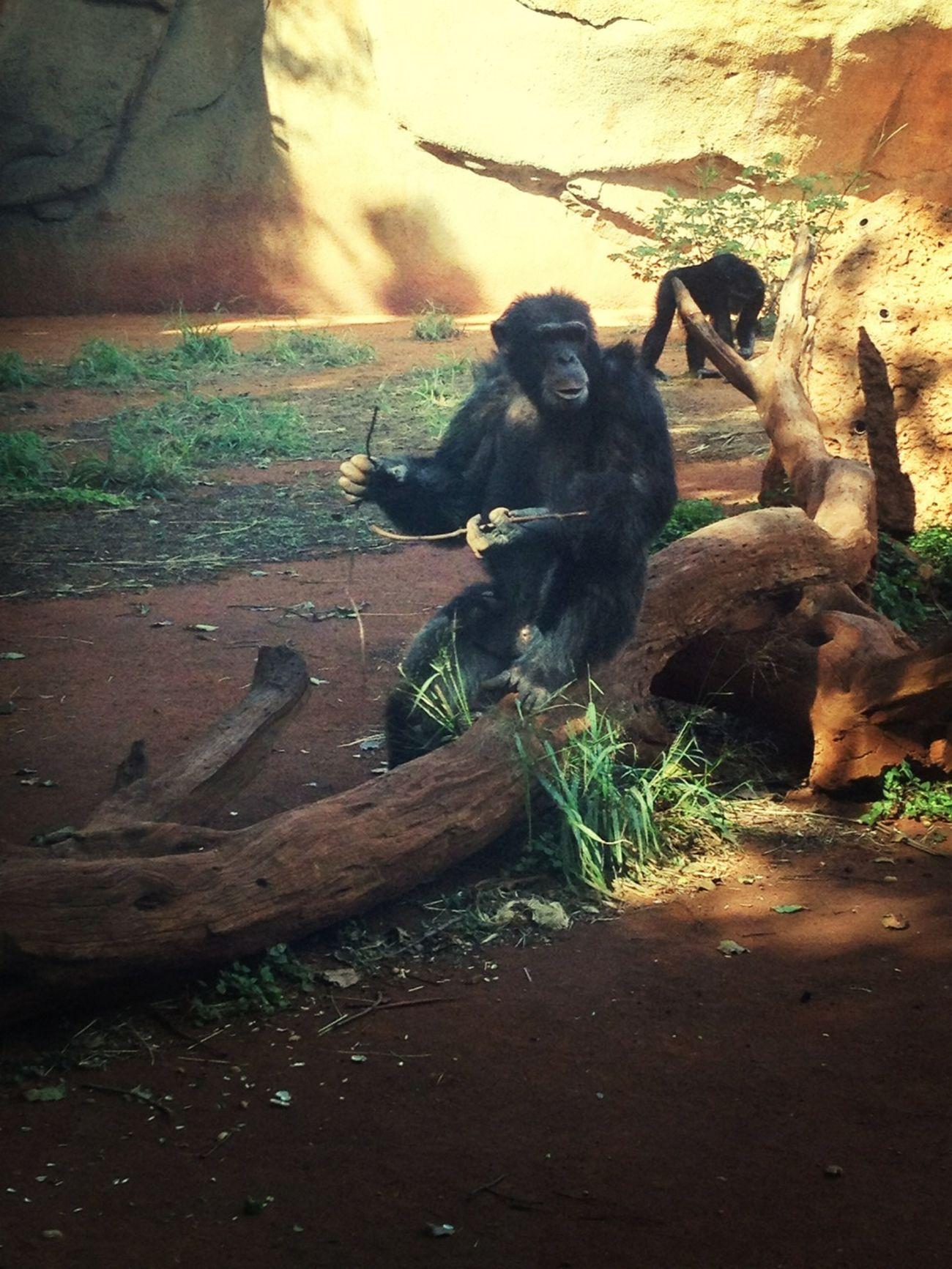 crazy chimpanzee!!