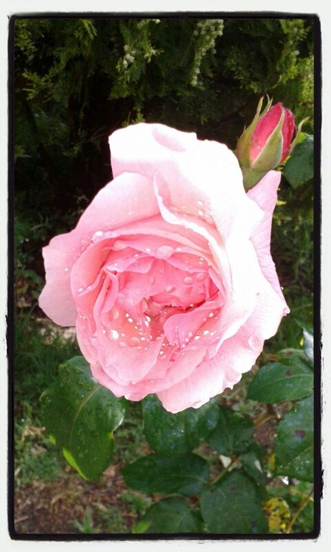 Flowers,Plants & Garden Flowers Rosé