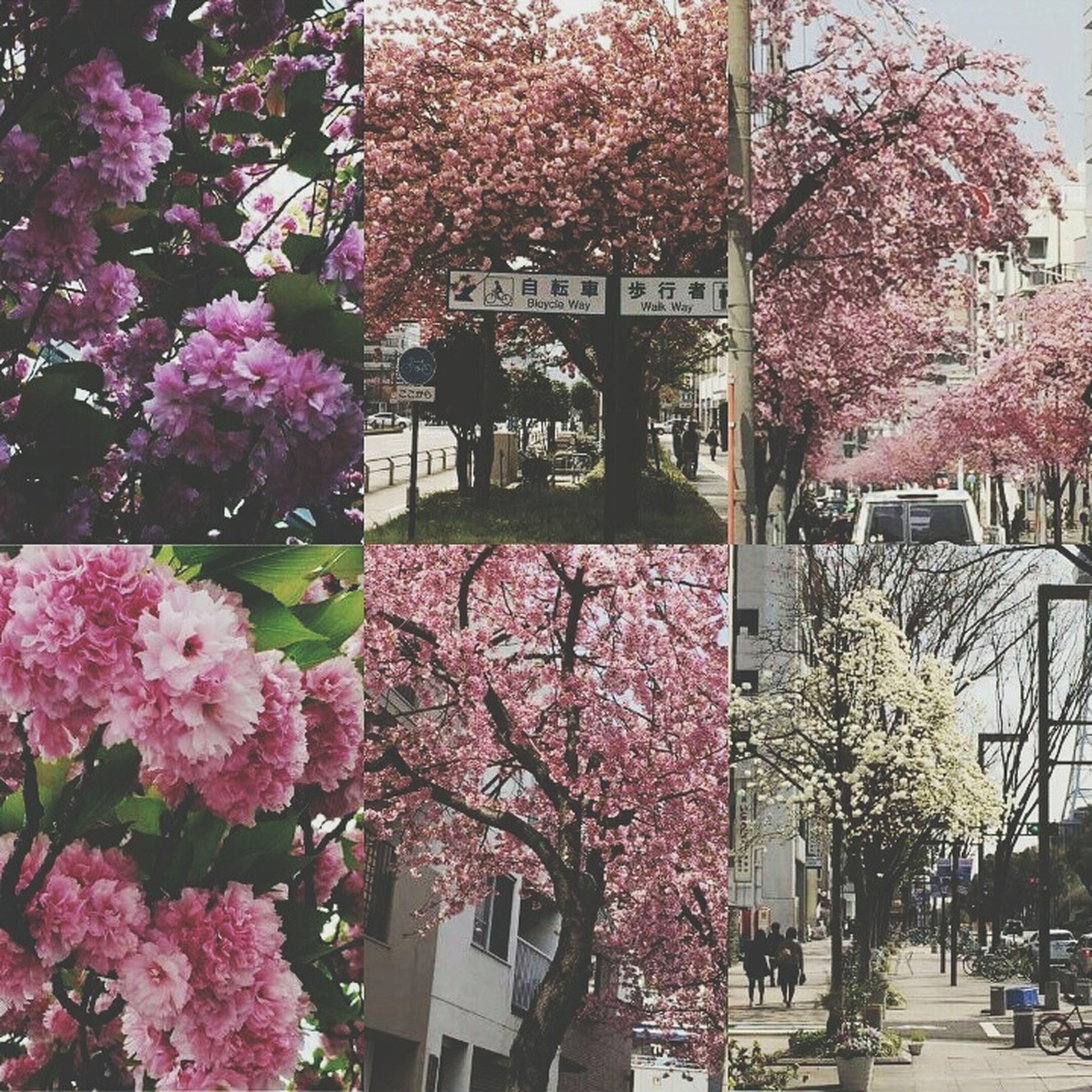 flower, tree, building exterior, architecture, built structure, growth, branch, pink color, freshness, city, blossom, nature, fragility, cherry blossom, cherry tree, beauty in nature, day, outdoors, incidental people, city life