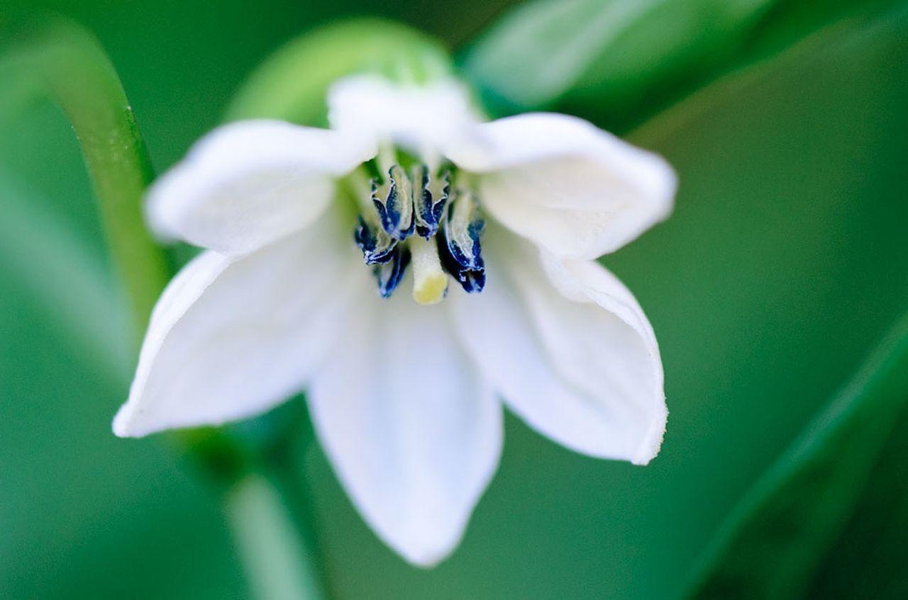 fiore del rocoto Flowers Pepper Macro Photography Nature Rocoto
