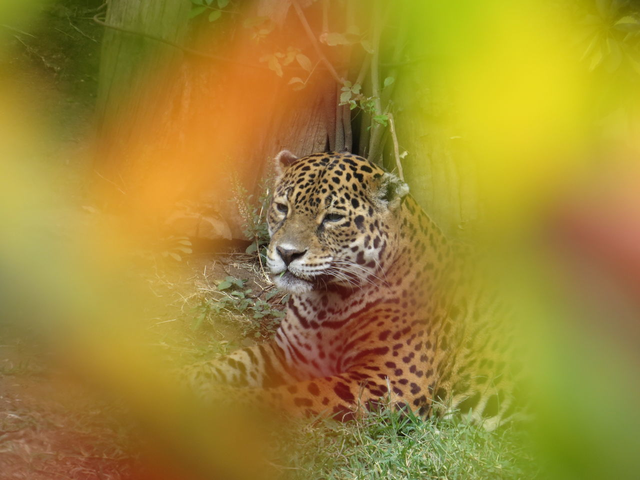 Beautiful stock photos of jaguar,  Animal Themes,  Animal Wildlife,  Animals In The Wild,  Chainlink Fence