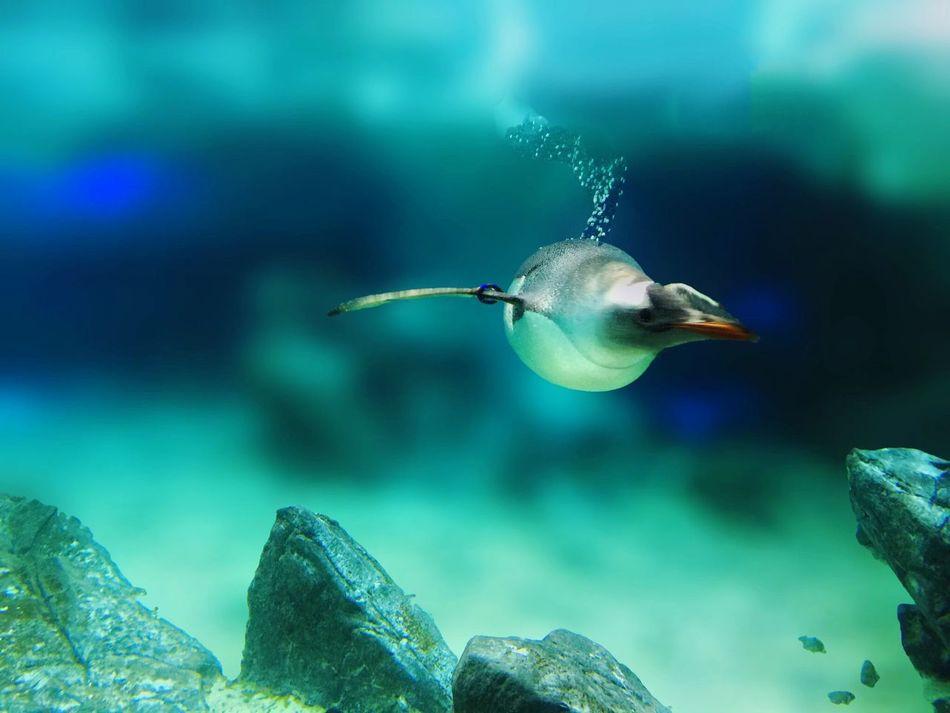 Beautiful stock photos of penguin, Animal Themes, Animals In The Wild, Australia, Beauty In Nature