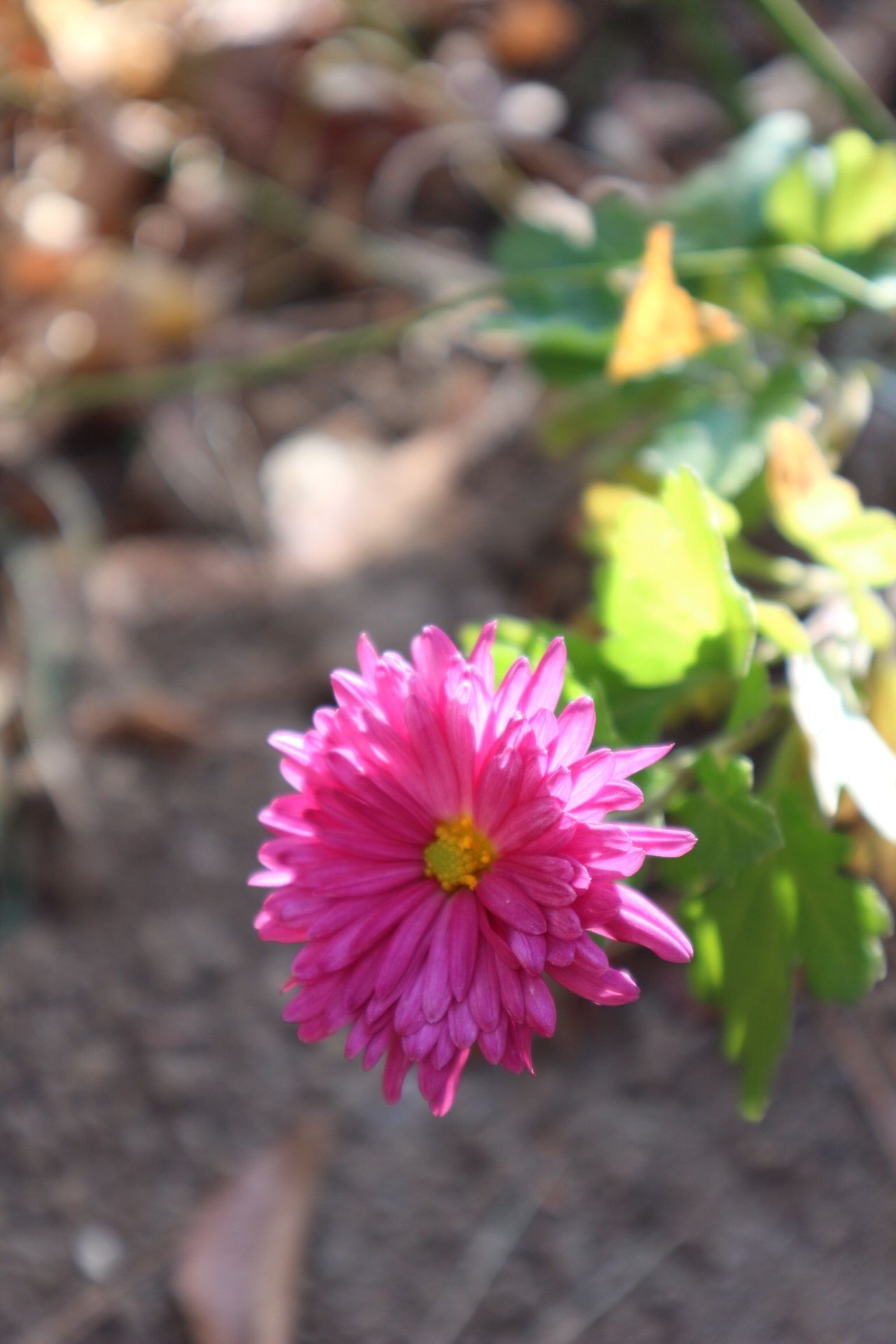 Flower Fragility Pink Color Freshness Beauty In Nature Flower Head Close-up Blooming Plant Focus On Foreground Outdoors Sundaymorning Walking Around Do-san Park Park Autumn No People Day Sunshine Nature Canon Eos 100D