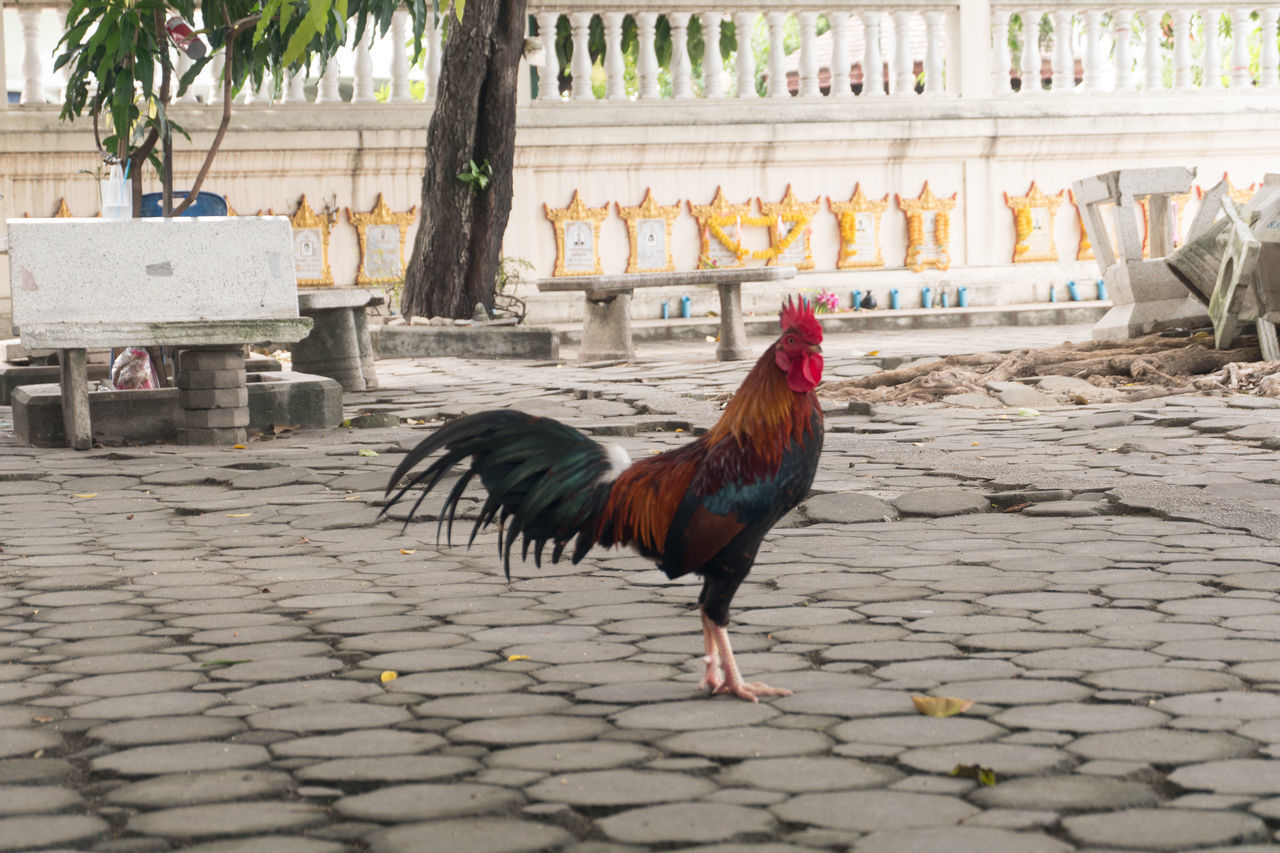 Beautiful stock photos of rooster,  Animal Themes,  Bangkok,  Chicken - Bird,  Cockerel