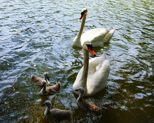 Swans StonyBrookDuckPond Family Mommy Daddy Babies Happy SwanLife Nature Pretty