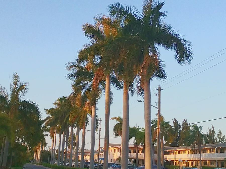 Hallandale Beach Palm Tree Tree Gridlove Lost In The Landscape Perspectives On Nature Be. Ready.