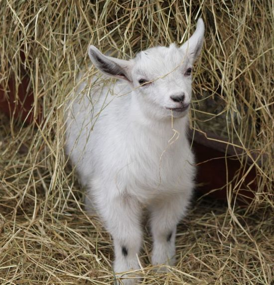 Alertness Animal Animal Head  Animal Themes Close-up Day Domestic Animals Field Focus On Foreground Grass Grassy Mammal Nature No People Outdoors Pets Portrait Young Animal Goat Kid Goat