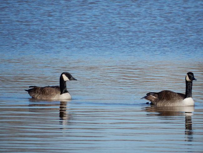 Beautiful Nature Bird Bird Photography Birds Of EyeEm  Geese JustJennifer@TruthIsBeauty Kellogg Lake Carthage, Mo Lake Tree TruthIsBeauty Photographic Art 🌷 TruthIsBeauty 💯