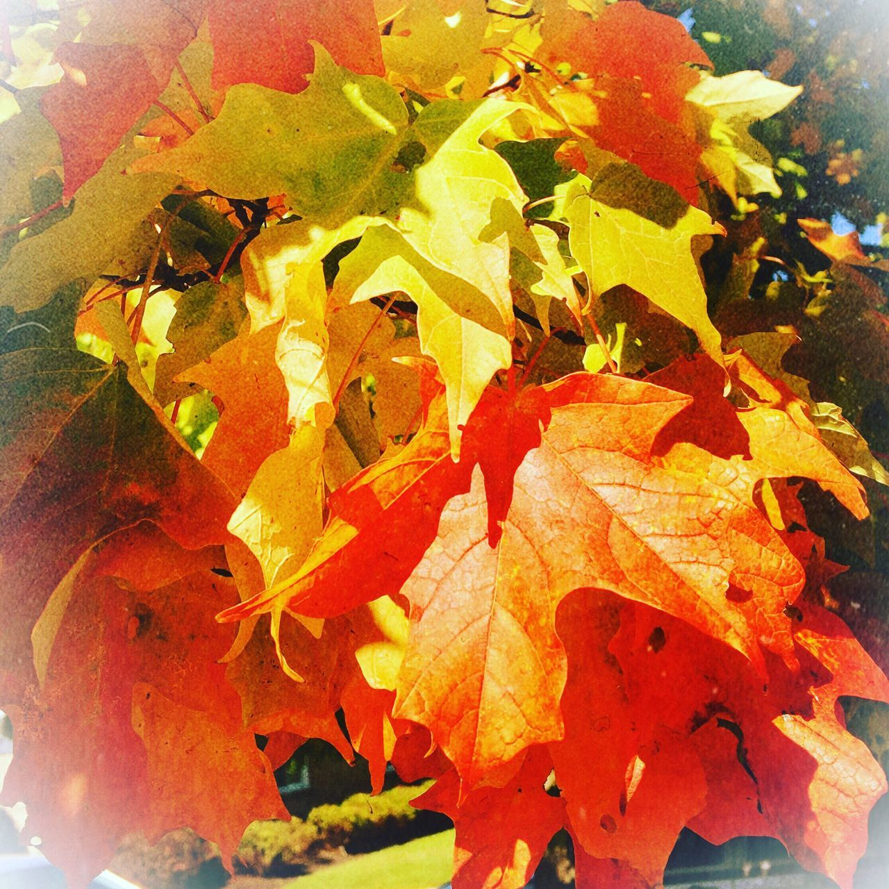Fall is here Rich Colors Leaves🌿 Season  Close-up Autumn Change Nature Beauty In Nature Botany Vibrant Color Beauty In Nature Tranquility Multi Colored Iphonephotography