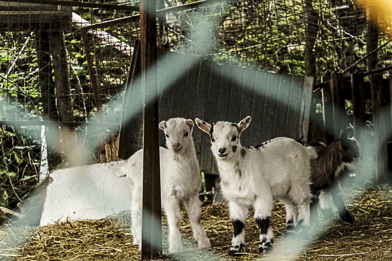 Little Goats. Animal Photography Animal Themes EyeEm Animal Lover Farm Goats Herbivorous Little Livestock Nature No People Outdoors Two Animals