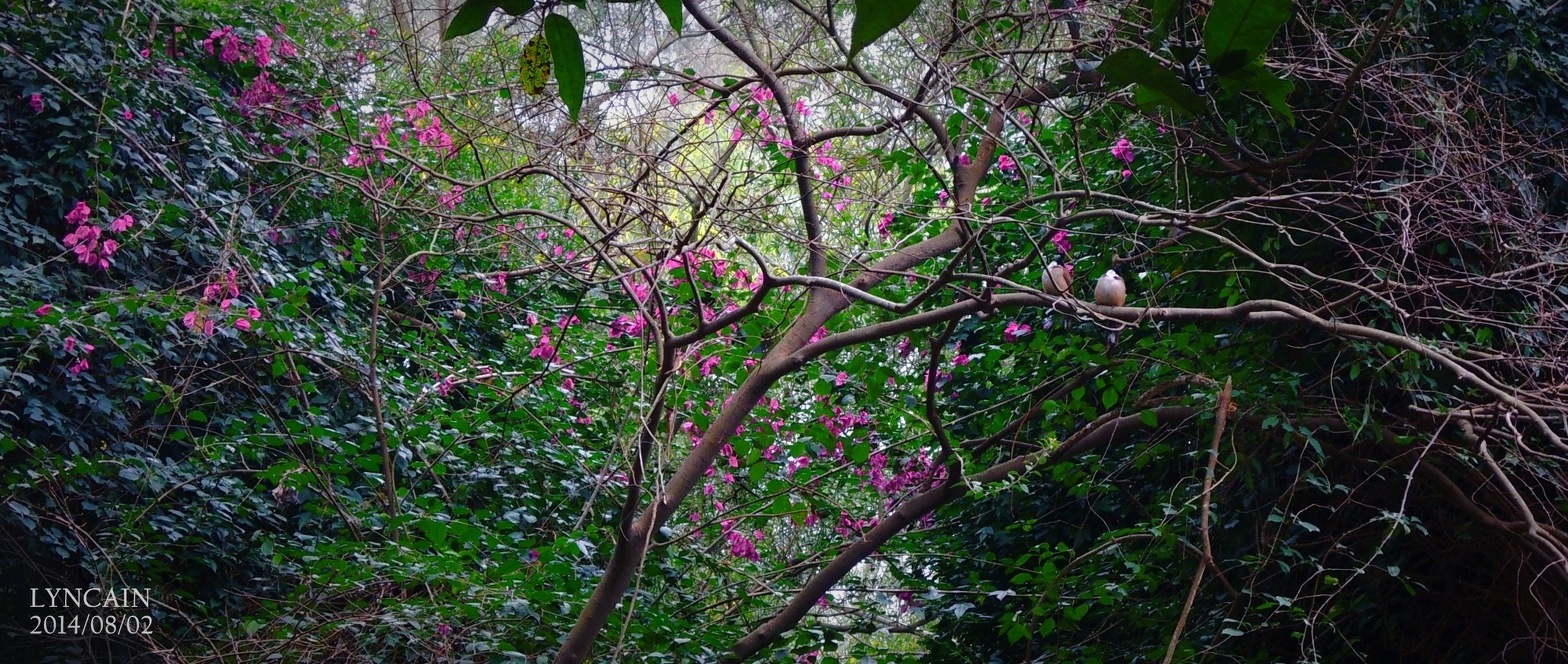 tree, growth, branch, beauty in nature, nature, flower, pink color, freshness, tranquility, low angle view, plant, purple, green color, outdoors, forest, day, no people, leaf, lush foliage, scenics