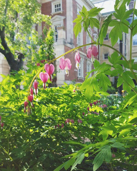 Just a couple of bleeding hearts Bleedinghearts Downtown Flowers Summertime