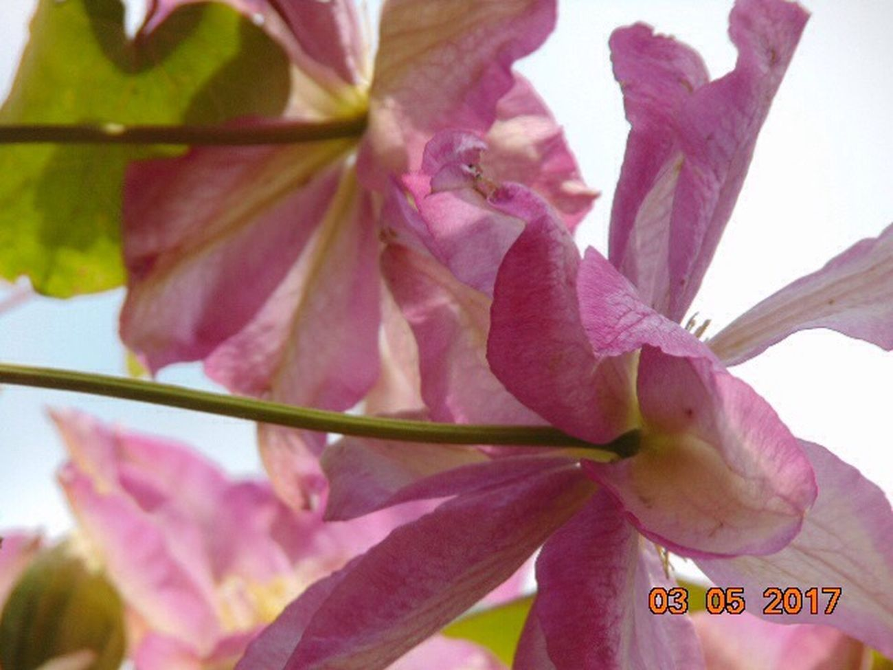 Flower Fragility Petal Beauty In Nature Growth Freshness Nature Flower Head Day Close-up Outdoors Pink Color No People Plant Blooming Beauty In Nature Clematis Flower St Agnes