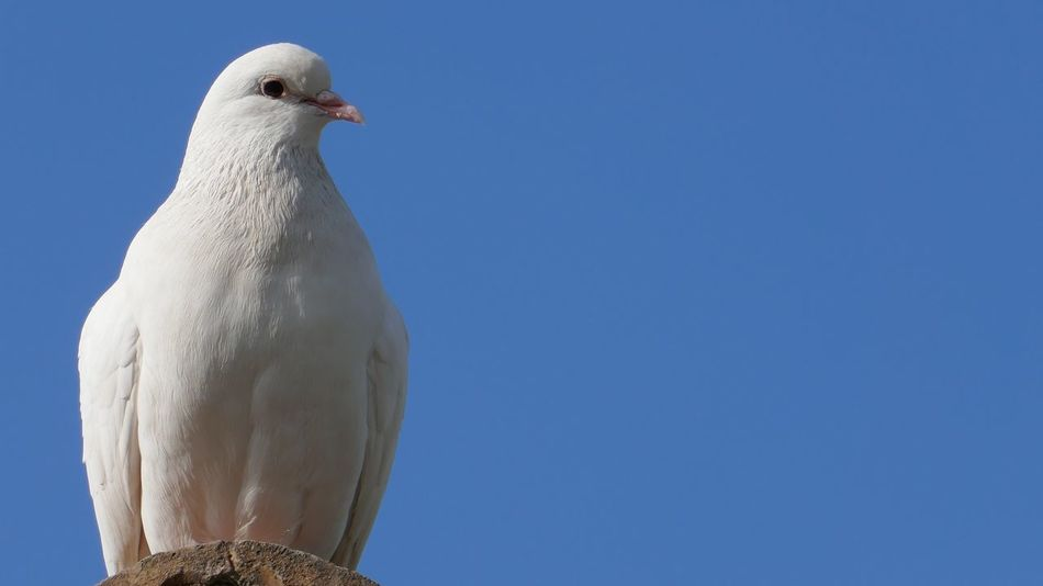 Beautiful stock photos of friedenstaube, clear sky, bird, blue, one animal