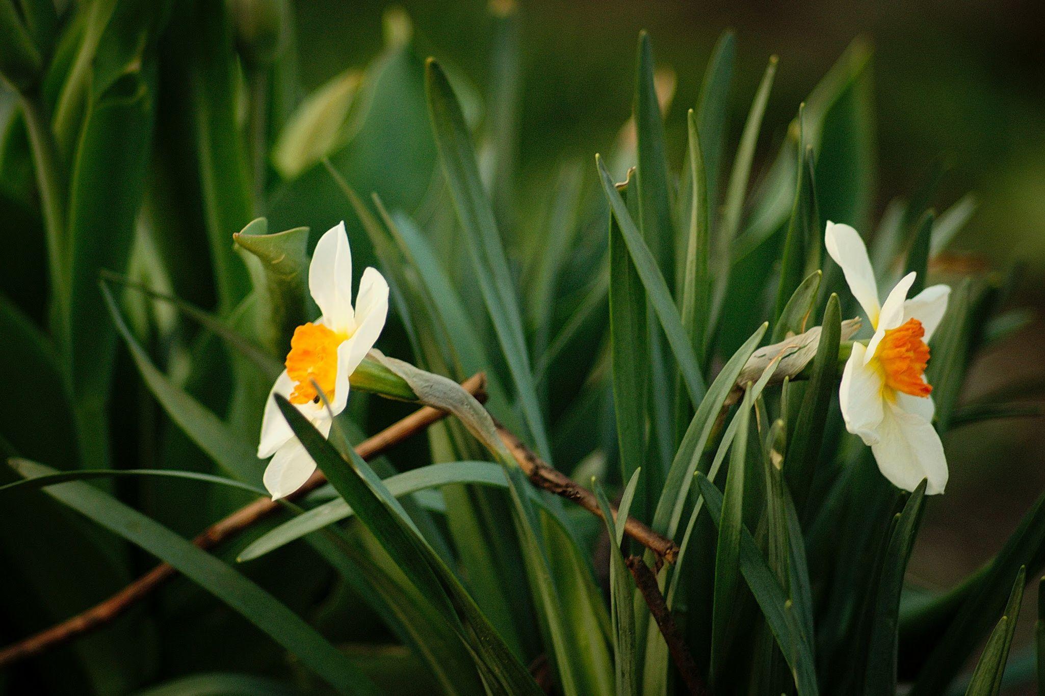 Beautiful Narsis Spring Flowers Nature Russia цветы нарциссы весна Природа