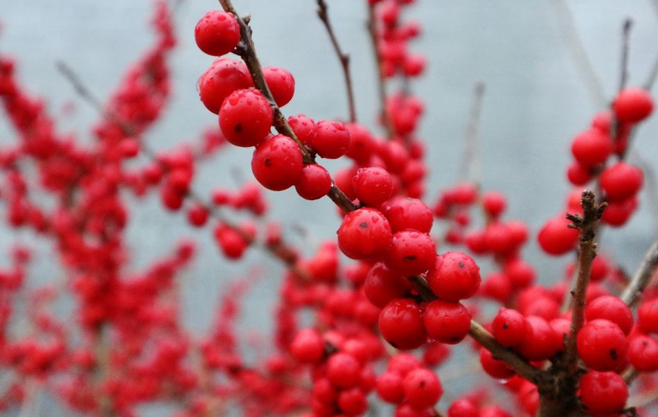 Growth Red Close-up Nature Freshness Plant Beauty In Nature Rowanberry Background Bush Shrub Plants Branches Berrys Berry Bush